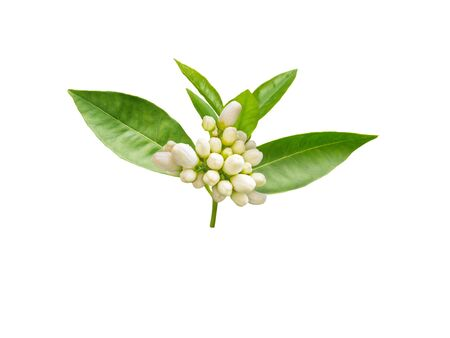 Orange tree brunch with white fragrant buds and leaves isolated on white. Neroli blossom. Azahar flowers.