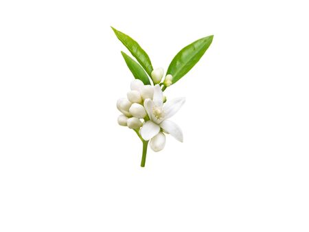 Neroli brunch with white fragrant flowers, buds and leaves isolated on white. Orange tree blossom. Banco de Imagens