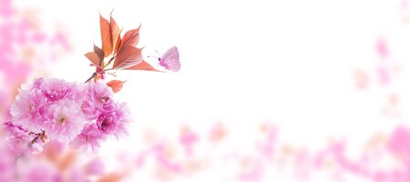 Sakura tree branch with pink flowers and young leaves on the spring blurred garden horizontal background. Springtime cherry blossom and butterfly. Banco de Imagens