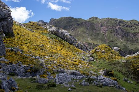Genista occidentalis in bloom. Spring mountain landscape with yellow flowers. Calabazosa lake in the Somiedo national park, Spain, Asturias.