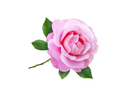 Pink rose flower and leaves isolated on white Banco de Imagens