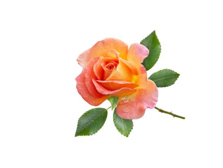 Orange rose flower and leaves isolated on white