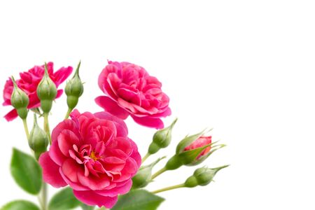 Bright pink rose flowers bouquet in the corner isolated on white