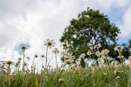 Summer serene meadow landscape with oxeye daisy flowers, grass,tree and clouds. Bottom view.