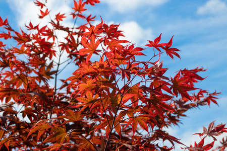 Japanese maple branches with red leaves on the blue sky and white clouds background. Acer palmatum tree. Stock fotó - 153100779