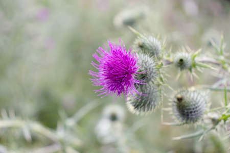 Purple thistle flower and prickly buds. Cirsium flowering plant,aster family, Asteraceae. Stock fotó - 153100782