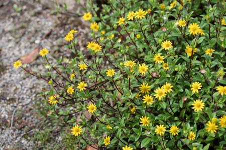 Mexican creeping zinnia yellow bright flowers. Sanvitalia procumbens. Stock fotó