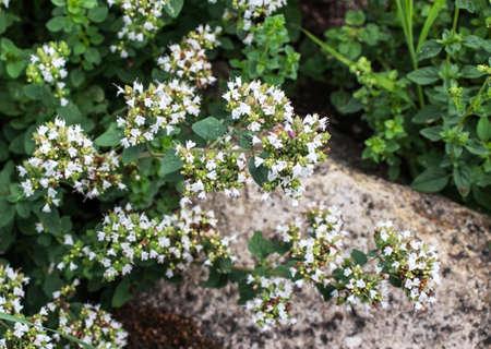 Marjoram plant covered with small white flowers. Origanum majorana or sweet marjoram.