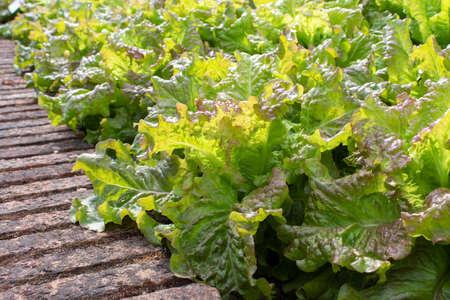 Green lettuce salad plants in the sunny kitchen garden. Lactuca sativa. Stock fotó