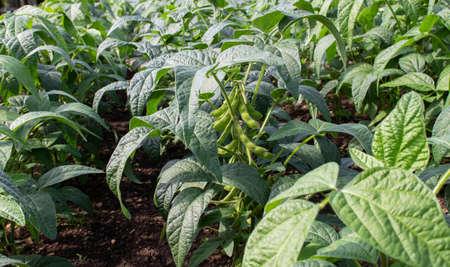 Soybean or soya bean plantation. Glycine max plants with beans. Stock fotó