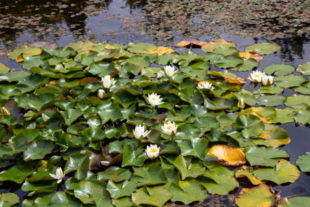 White waterlily flowers in the decorative pond. Nymphaea alba. Stock fotó - 153967196