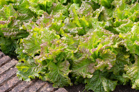 Lettuce salad plants on the decorative vegetable bed. Lactuca sativa in the garden. Stock fotó - 153967232