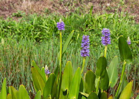Pickerelweed aquatic plant with purple flowers and leaves Pontederia cordata. Stock fotó - 153967216