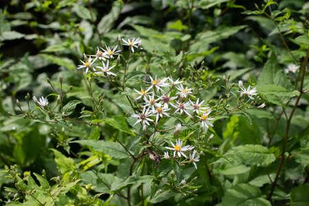 White wood aster flowering plant. Aster divaricatus. Stock fotó - 153966947