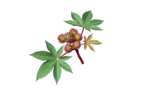 Castor oil plant with seed capsules and leaves isolated on white. Ricinus communis fruits. Stock fotó - 154019639
