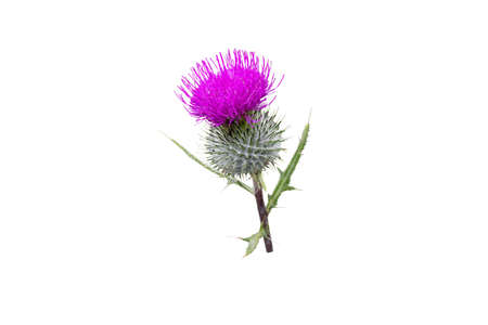 Purple thistle flower isolated on white. Cirsium flowering plant,aster family, Asteraceae.
