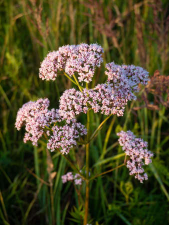 Valeriana officinalis pink flowers. Summer meadow at sunset. Medicinal plant.