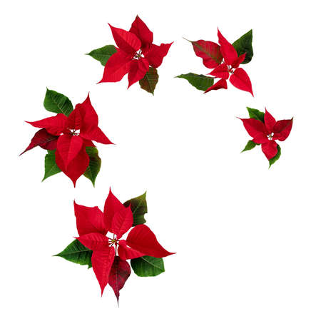 Spiral flying red poinsettia blossoms isolated on white. Christmas Eve flowers. Flor de Pascua. Red euphorbia pulcherrima plants.