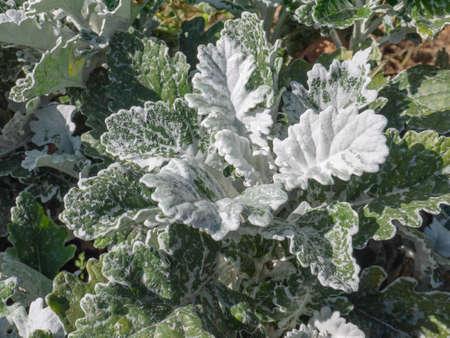 Silver ragwort plant. Senecio cineraria or Jacobaea maritima.
