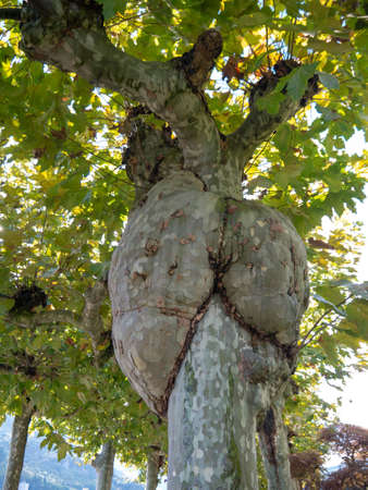 Large burl on London plane tree. Platanus hispanica. 写真素材 - 157069641