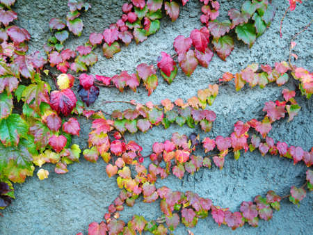 Colorful boston ivy on the wall. Autumn colored leaves. Fall season. 写真素材