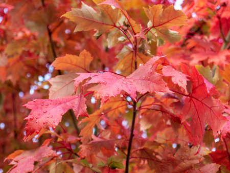 Red maple branch. Autumn colored leaves with rain drops. Fall season.