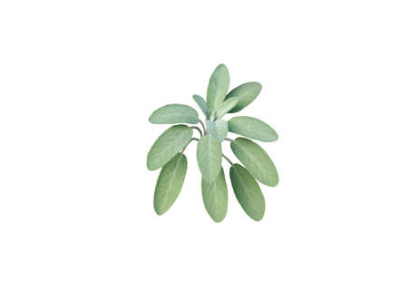Sage leaves isolated on white. Salvia officinalis.