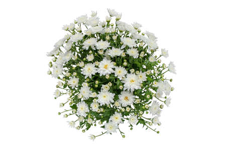 White chrysanthemum flowers and buds bouquet isolated top view.
