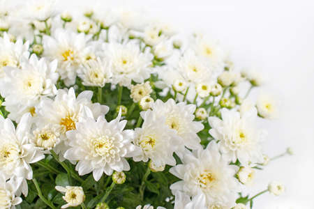 Chrysanthemum multiflora flowers and buds. White autumnal bouquet.