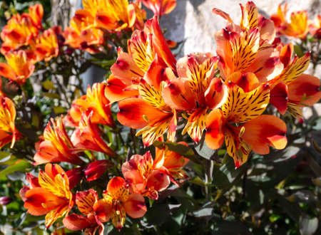 Bright yellow-orange peruvian lily flowers in the sunny garden. Alstroemeria in bloom.