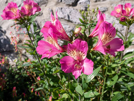 Pink peruvian lily flowers. Alstroemeria in bloom.