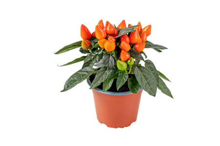 Hot pepper plant in the brown pot isolated on white. Orange ornamental chili with upright fruits. 写真素材