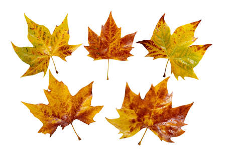 Fall yellow plane tree leaves set isolated on white. Platanus autumn foliage with water drops. Archivio Fotografico