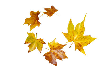 Flying fall yellow plane tree leaves spiral isolated on white. Platanus autumn foliage.