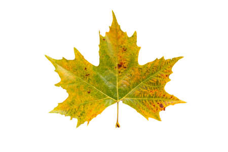 Fall yellow plane tree leaf isolated on white. Platanus autumn foliage.