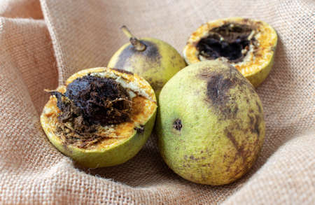 Eastern American black walnut or Juglans nigra opened friuts on the rough jute canvas.