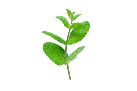 Mint or mentha branch with leaves isolated on white
