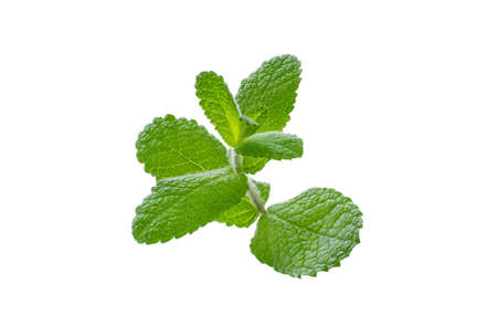 Mint branch isolated on white. Mentha or peppermint downy leaves. Reklamní fotografie
