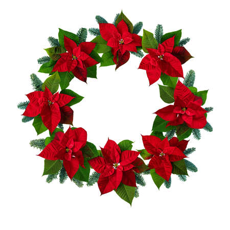 Poinsettia Christmas Eve flowers and blue noble fir tree branches wreath isolated on white. Flor de Pascua. Red euphorbia pulcherrima plant.