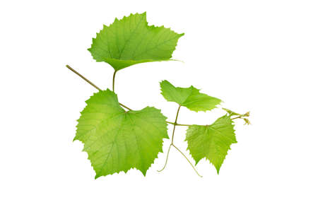 Grape branch isolated on white. Vine with green fresh leaves and tendrils. Grapevine. Vitis vinifera plant.
