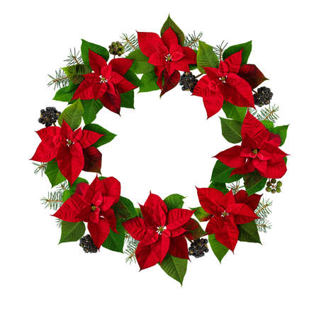 Poinsettia Christmas Eve flowers, ivy and fir tree branches wreath isolated on white. Flor de Pascua. Red euphorbia pulcherrima plant.