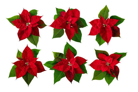 Poinsettia Christmas Eve flowers set isolated on white. Flor de Pascua. Red euphorbia pulcherrima plants.