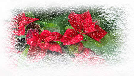 Poinsettia flowers or Flor de Pascua in winter covered with snowfall horizontal banner. Christmas gift card.