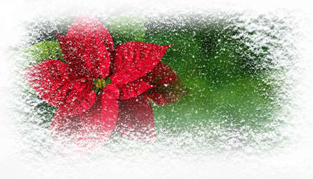 Flor de Pascua or Poinsettia flower in winter covered with snowfall horizontal banner. Christmas gift card.