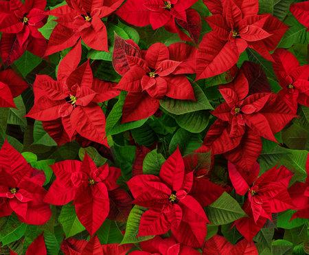 Red poinsettia flowers seamless pattern. Flor de Pascua. Christmas Eve plants.