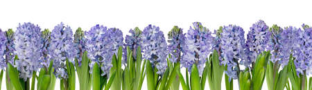 Purple hyacinth flowers border isolated on white. Hyacinthus horizontal seamless pattern. Spring floral banner.