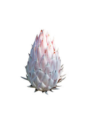 Protea cynaroides bloom isolated on white. National flower of the South Africa.