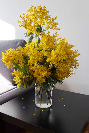 Mimosa or acacia spring yellow fluffy flowers bouquet in a glass jug on the black table in the sunny room. Silver wattle decorative branches.
