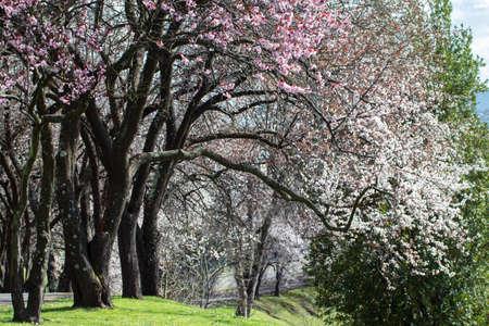 Flowering plum old trees in the park. Spring landscape.