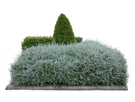 Shrubby germander and photinia fraseri bush hedges and conical pruned yew. Urban landscape design isolated on white 写真素材